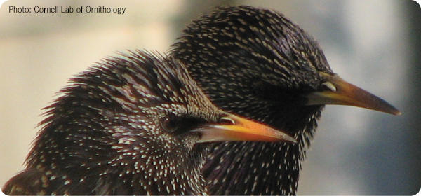 Dealing with Starlings